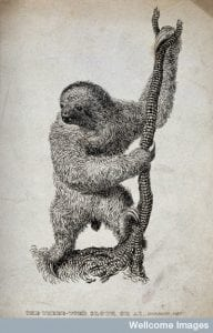 Nineteenth-century picture of a three-toed sloth climbing up a rope.