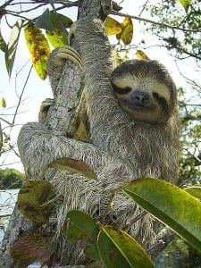 Image of a sloth holding on to a tree.